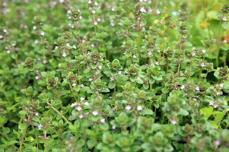 Blosoom thyme, background. Eco-friendly backyard garden, vegetable garden.