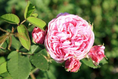 Květ historické růžové růže Louise Odier, bourbon růže v letní zahrádce.