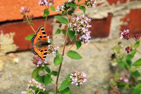 pink  leaf: Butterfly on purple flowers of oregano ( Origanum vulgare ). Rustic eco garden.