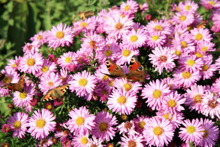 Butterfly on violet flowers of autumn aster, Aster amellus. Rustic eco garden. photo