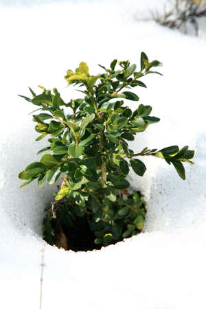 early spring snow: Small Buxus in snow, early spring in garden
