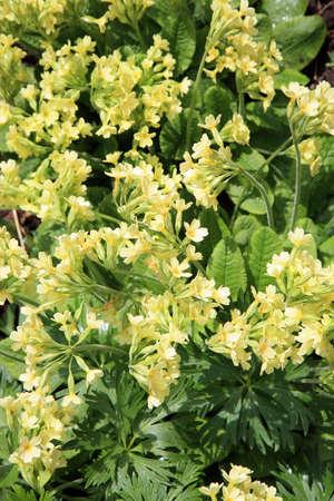shady: Primula Vulgaris yellow spring flower in a shady corner. Wild garden.