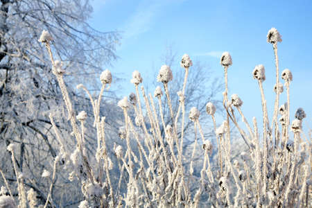 perennial plant: Echinacea winter on a background of blue sky. Stock Photo