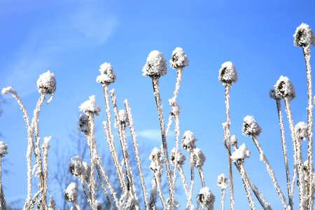 medicina natural: Echinacea de invierno sobre un fondo de cielo azul. Foto de archivo