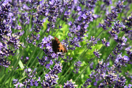 Young lavender with petal flowers and buterfly. Eco-friendly, herbal formal garden backyard. Herbarium.