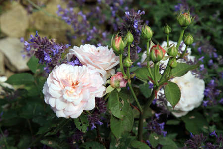 nostalgic: Blossom of the nostalgic, historic pink  rose Grüß an Aachen in the summer garden.