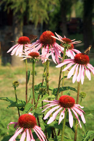 Echinacea in country home rustic ecological garden by very sunny day Stock Photo
