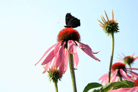 Echinacea with butterflies in country home rustic ecological garden by very sunny day and sky background.