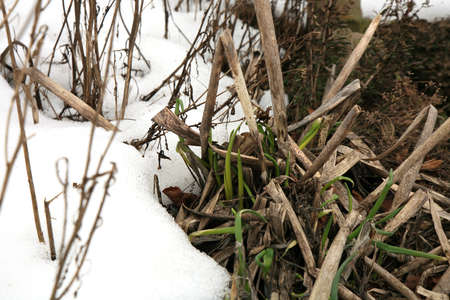 harbinger: First chive sprouts in early spring. The end of winter, beginning of spring.