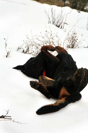 wallowing: Young dog breed Beauceron wallowing in the snow. Winter walk.