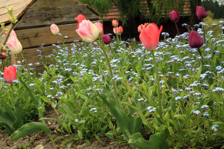 Blue Myosotis called forget-me-not and Foxtrot tulips blooming in garden in Poland.