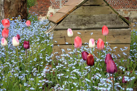 Blue Myosotis called forget-me-not and tulips blooming in garden in Poland. Garden with old doghouse. Stock Photo