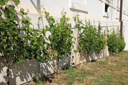 czechia: The plantation of vines at the Jesuit College in old town Kutna Hora, Czech Republic, Czechia.
