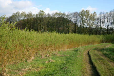 sallow: Plantation energy of willow (salix) plants grown by spring sunrise