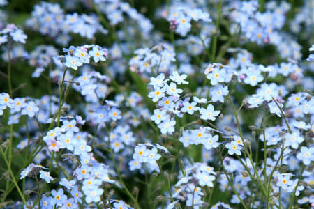 Background of many blue flowers. Spring forget me not.