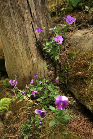 Wild Viola tricolor on stone wall in the spring herb country garden