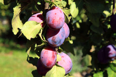 blanks: Plums ripe on branch in the orchard. View of fresh organic fruits on plum tree branch in the country, rustic fruit garden. Stock Photo