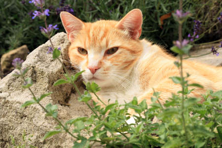 Ginger cat under the influence of catnip. Domestic cat junkie. Stock Photo