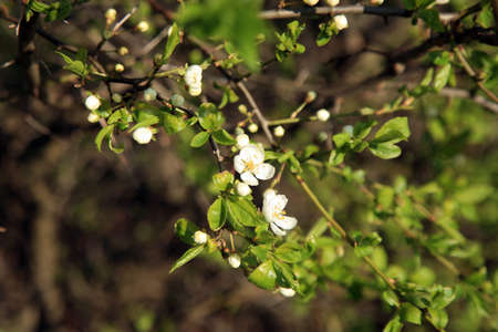 beginner: Flower blooms on spring hedges with cherry plum. Stock Photo