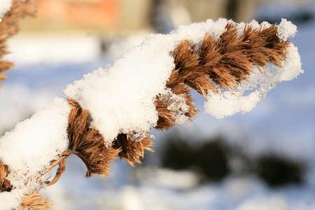 Dry flower of Nepeta kubanica under snow in country, winter, garden