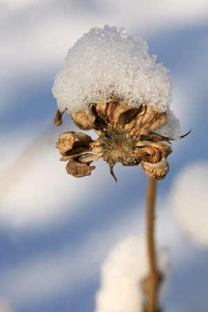 Calendula seeds under snow hat. Winter herbal garden.