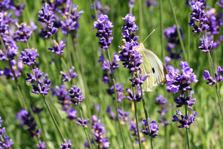 Buterfly cabbage butterfly on flower, macro. Pieris brassicae pollinating lavender in eco, rustic, home garden.