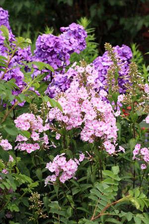 Beutiful violet phlox flowers herbs in a home perennial garden beutiful violet phlox flowers herbs in a home perennial garden friendly to mightylinksfo