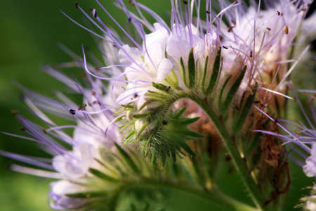 Blue phacelia, a plant grown for feed for farm animals. A honey and pollen plant also cultivated for beekeeping 免版税图像 - 110301557