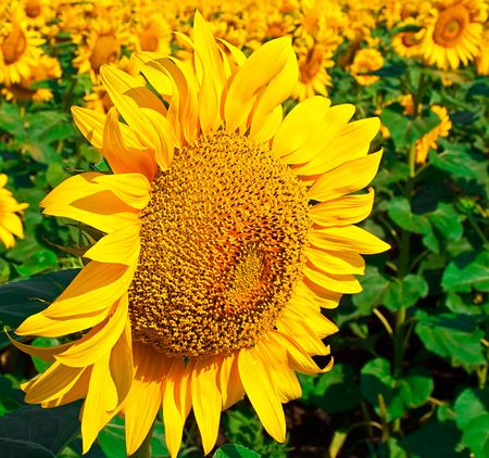 Beautiful seed of sunflower against the field from seeds of sunflower Stock Photo - 5352941
