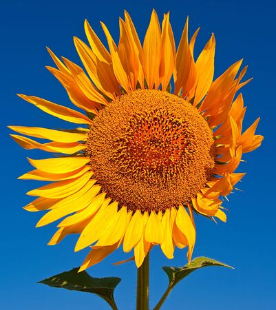 Seed of sunflower against the blue root Stock Photo - 5377010