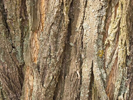 Background from a brown bark of a tree of an acacia photo