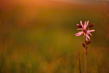 ragged robin: Blooming lychnis at sunrise