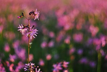 ragged robin: Lychnis flos-cuculi blossom detail