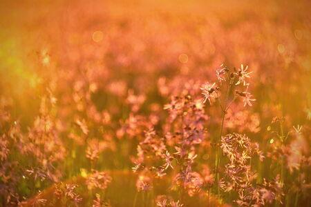 Lychnis flos-cuculi blossoms seamless texture