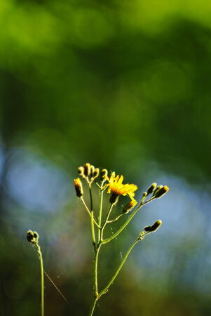hieracium: Hieracium silvaticum, yellow flower on an abstract