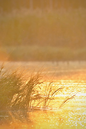 rushes: Sunrise at lake with rushes