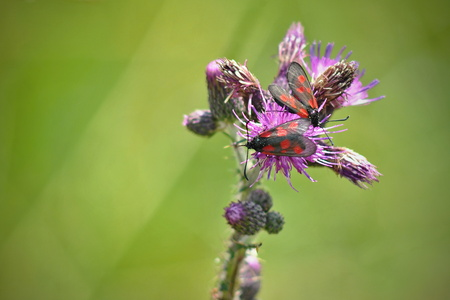 zygaena: Pair of zygaena viciae butterflies