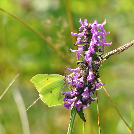 rhamni: Gonepteryx rhamni butterfly on a purple flower