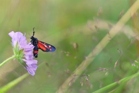 zygaena: Zygaena ephialtes butterfly Stock Photo