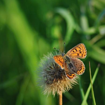 lycaena: Lycaena tityrus butterfly on green background Stock Photo