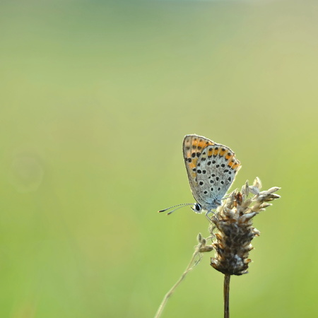 Lycaena tityrus butterfly on green background photo