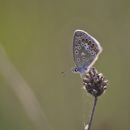 Polyommatus icarus - blue butterfly on green backround photo