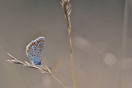 Polyommatus icarus - blue butterfly on grey backround photo