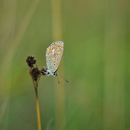 polyommatus icarus: Polyommatus icarus - blue butterfly on green backround