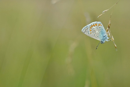 polyommatus: Polyommatus icarus - blue butterfly on green backround