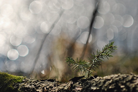 piny: Spruce tree seedling in a spring light Stock Photo