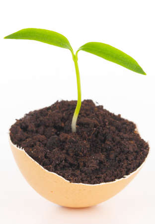 Young plant in eggshell photo