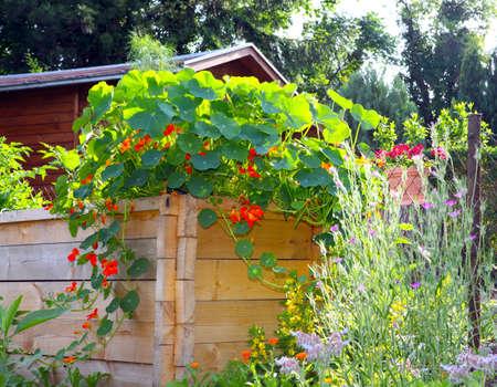 entwine: Nasturtium vines on raised bed