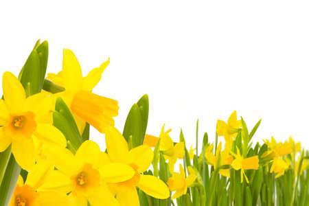 Daffodils Daffodils