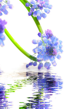 Greeting card with grape hyacinths, and reflection photo